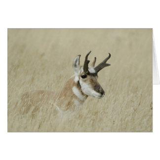 Cartes Repos masculin de Pronghorn, Yellowstone NP,