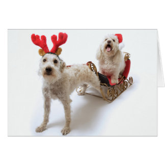 Cartes schnoodle blanc se tenant avec Noël rouge