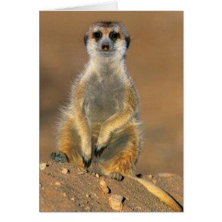 Cartes Sentinelle de Meerkat (Suricata Suricatta) au