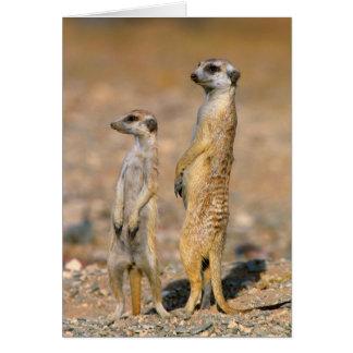 Cartes Sentinelles de Meerkat (Suricata Suricatta), Karas