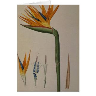 Cartes Strelitzia Reginae, de 'Les Strelitziacees