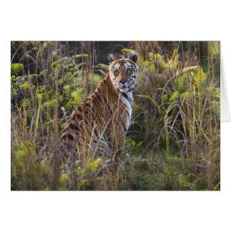Cartes Tigresse du Bengale dans l'herbe grande, essayant