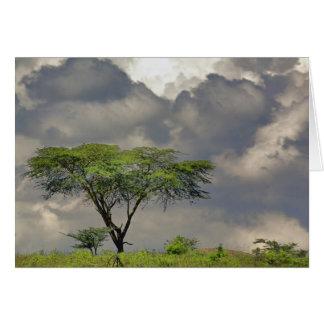 Cartes Tortilis d'acacia, d'acacia d'épine de parapluie,