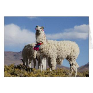 Cartes Troupeau décoré de lama dans le Puna, montagnes