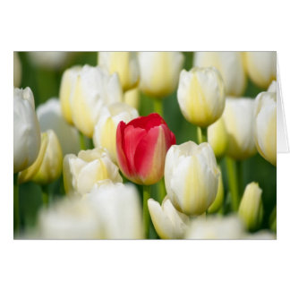 Cartes Tulipe rouge dans un domaine des tulipes blanches