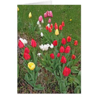 Cartes Tulipes rouges, roses, blanches, et jaunes -