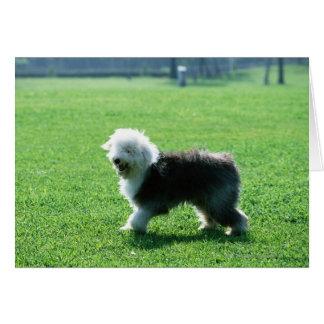 Cartes Vieux chien de moutons anglais