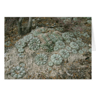 Cartes Williamsii de Lophophora - peyotl