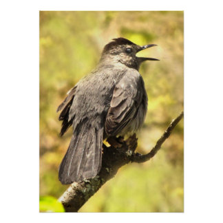 Catbird gris chantant son affiche de chanson posters