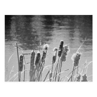 Cattails par l'étang en noir et blanc cartes postales