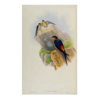 Cecropis Daurica (hirondelle Rouge-rumped) Affiches