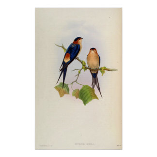 Cecropis Rufula (hirondelle Rouge-rumped) Poster