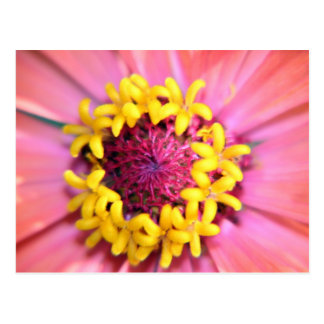 Centre rose de Zinnia Carte Postale