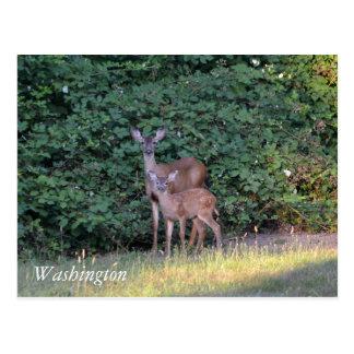 Cerfs communs à Washington Carte Postale