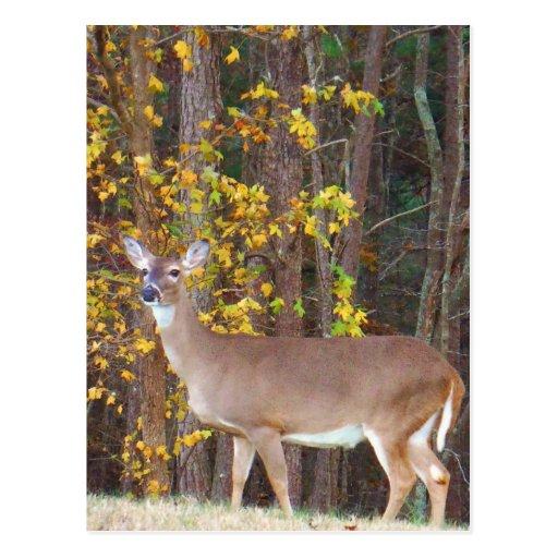 Cerfs communs devant l'arbre jaune d'automne carte postale