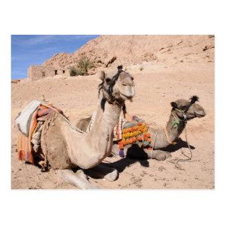 Chameaux dans le désert à St Catherine Carte Postale