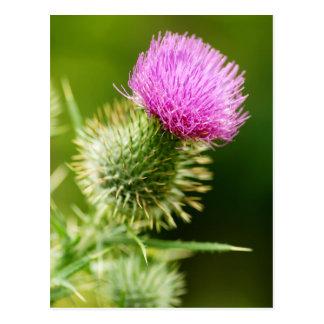 Chardon de Taureau pourpre en fleur Carte Postale