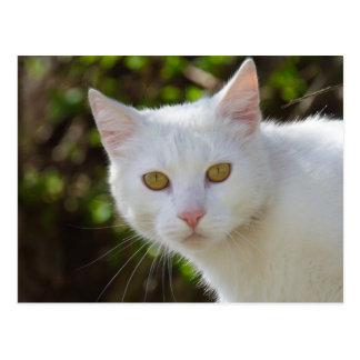 Etoile d'Or Chat_blanc_avec_les_yeux_jaunes_carte_postale-r6d066f5ea80541e59e490f6350c0917c_vgbaq_8byvr_324