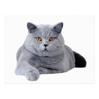 Chat britannique de shorthair cartes postales