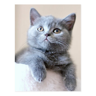 Chat britannique gris de Shorthair Carte Postale