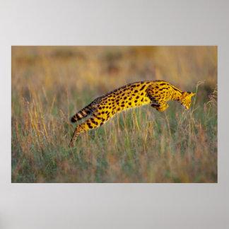 Chat de Serval (serval de Leptailurus) sautant sur Posters