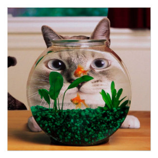 Chat et poissons - chat - chats drôles - chat fou poster