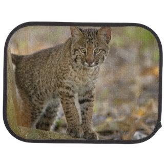 Chat sauvage, rufus de Felis, marécages de Tapis De Sol