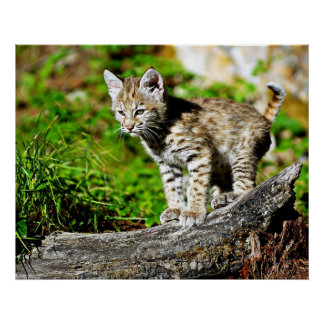 Chaton de chat sauvage posters