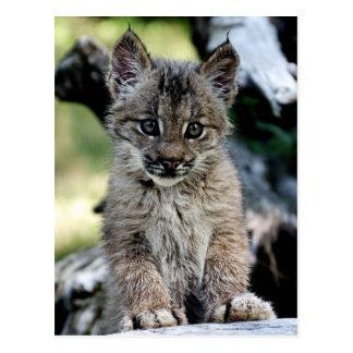 Chaton de Lynx de Canadien Cartes Postales
