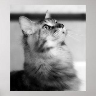 Chaton noir et blanc de ragondin du Maine de photo Posters