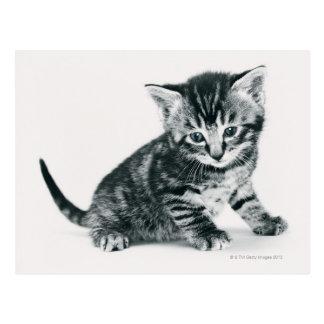 Chaton tigré carte postale