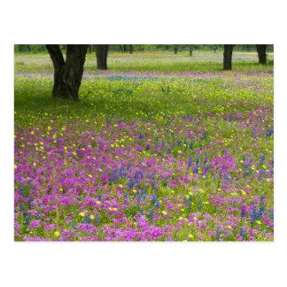 Chênes avec le champ du Phlox, capots bleus Cartes Postales