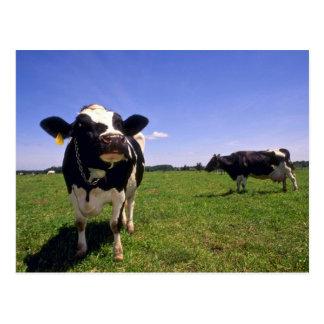 Cheptels laitiers du Holstein Carte Postale