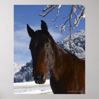 Cheval de Brown en hiver Posters