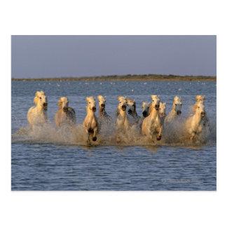 Cheval de Camargue (caballus d'Equus) Cartes Postales