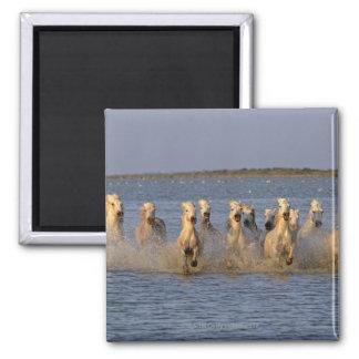 Cheval de Camargue (caballus d'Equus) Magnet Carré