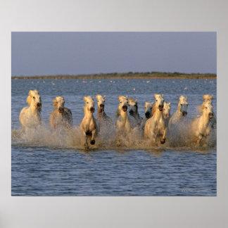 Cheval de Camargue (caballus d'Equus) Posters