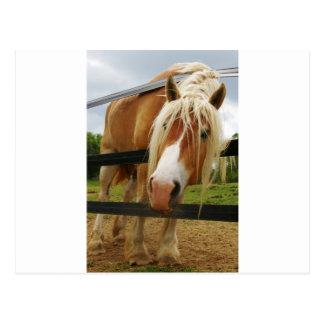 Cheval de trait belge, obtenu des carottes ? carte postale