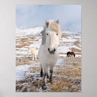 Cheval islandais blanc, Islande Poster