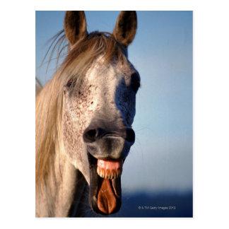 cheval riant carte postale