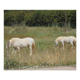 Chevaux blancs impression photo