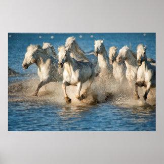 Chevaux blancs de Camargue, France Poster