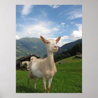 Chèvre blanche affiche