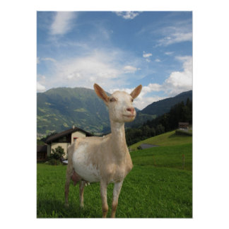 Chèvre blanche poster