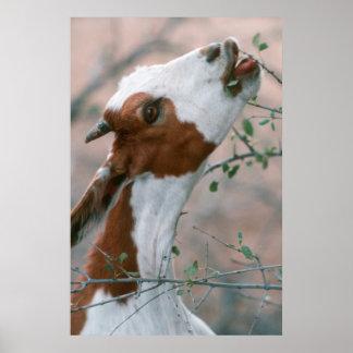 Chèvre (Capra Aegagrus Hircus) passant en revue Posters