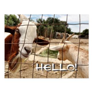 Chèvre curieuse - carte postale