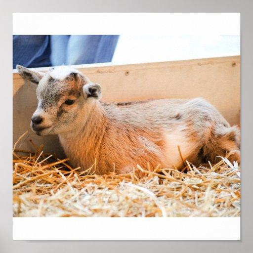 Chèvre de bébé affiche