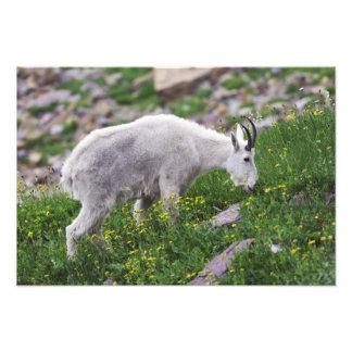 Chèvre de montagne, Oreamnos américanus, adulte av Photographe