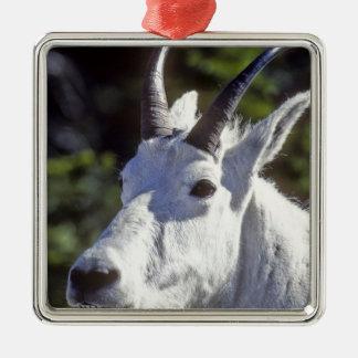 Chèvre de montagne, Oreamnos américanus, en Ornement Carré Argenté
