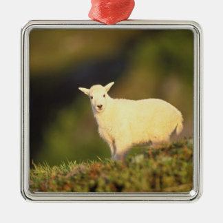 chèvre de montagne, Oreamnos américanus, enfant Ornement Carré Argenté
